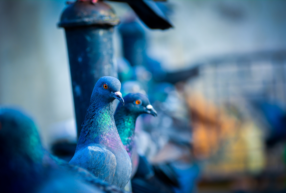 Closeup Pigeon Photograph
